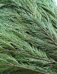 Стабилизированные растения - стабилизированные ветви