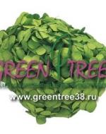 ГОРТЕНЗИЯ премиум / зеленая